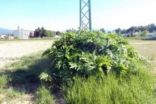 Neďaleko Biotiky takto rástla nebezpečná rastlina.