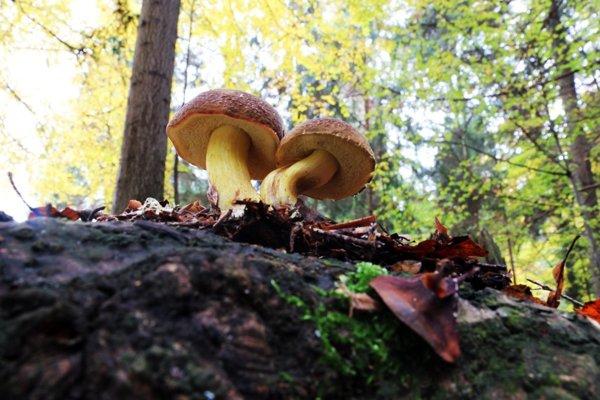 Huby sú obľúbené najmä pre ich jedinečné aromatické a chuťové vlastnosti.