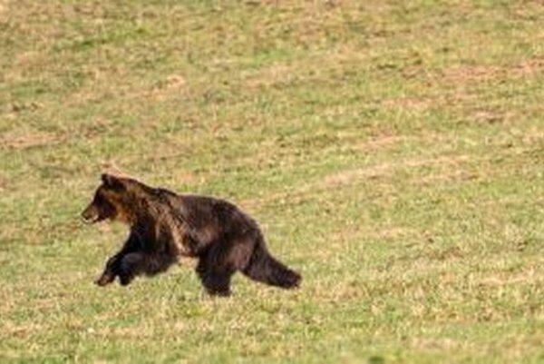 Takto si behal medveď na Trusalovej v apríli tohto roka.