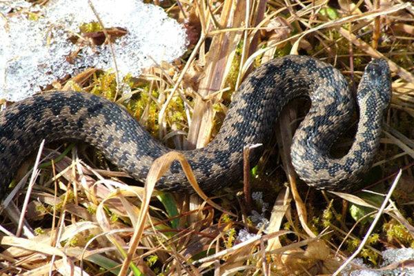 Vretenica je u nás najjedovatejším hadom.