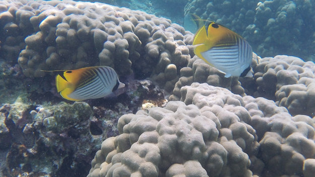 Ryba Kikakapu, anglicky Butterfly Fish