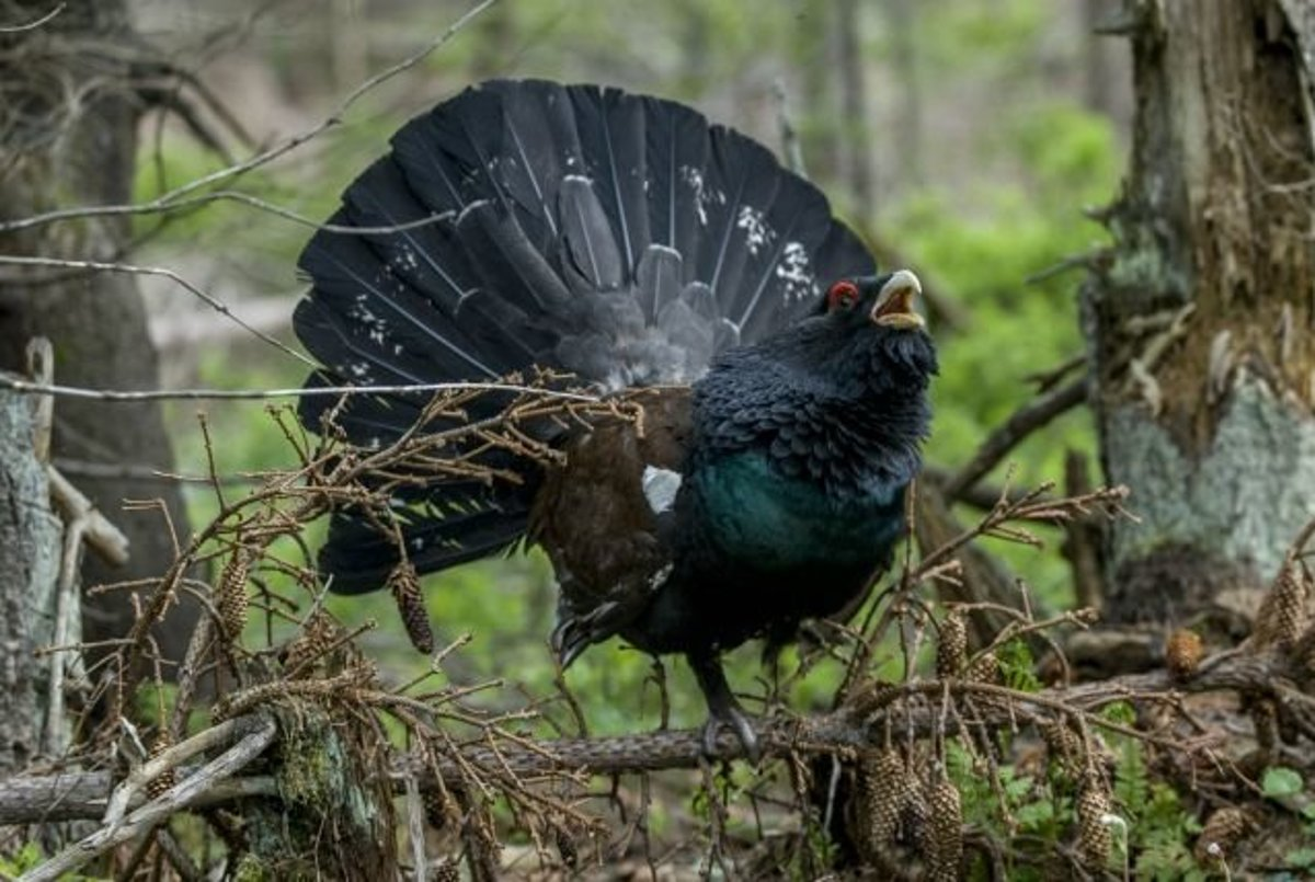 pic z najväčších vtáka na svete
