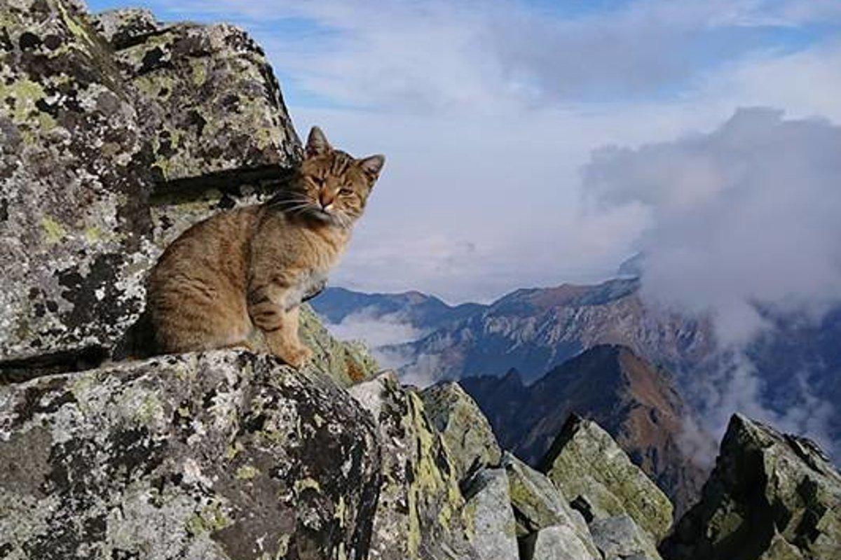 Rysy majú neobyčajného mačacieho návštevníka. Písal o ňom aj Daily Mail -  spis.korzar.sme.sk c39e3322475