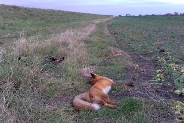 Líšky zabil rovnaký jed, ako dravce na jar.