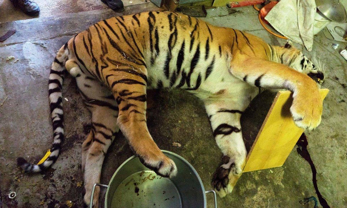 Nelegálna farma v Prahe  Tigre rozštvrtili a varili ich kosti - svet ... d848f5838d9
