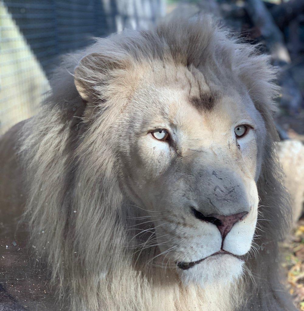 Biele levy v ZOO v Nyíregyháza