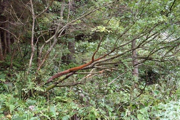 Medzi nevyriešené prípady ružomberskej polície patrí nález mŕtvoly muža v lesnom poraste. Jeho totožnosť doteraz nezistili.