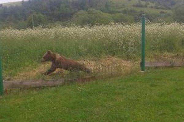 Medveďa zo záhrady vyhnali psy.