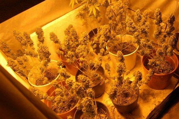 Zo zadržaného rastlinného materiálu možno vyrobiť 1756 až 2705 obvykle jednorazových dávok drogy.