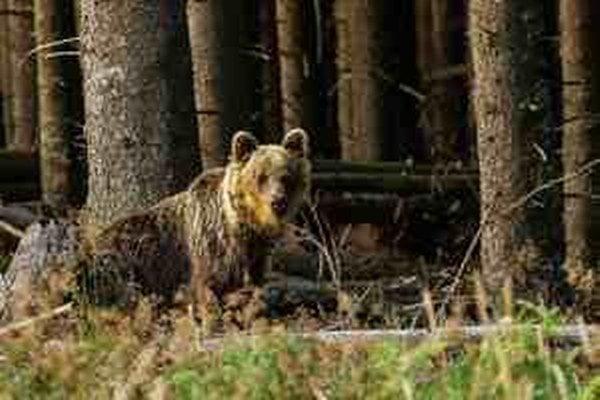 Ani  hlučná chôdza po starom snehu, konároch a šiškách neodradila medveďa od útoku.
