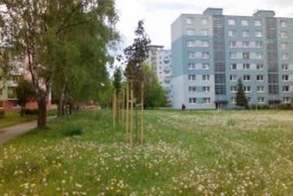 Na Nábreží Dr. A. Stodolu zasadili pozdĺž chodníka s brezami javory.