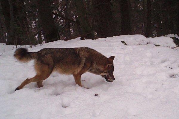 Vlk je veľmi plachý. Najčastejším zdrojom fotografií sú fotopasce.