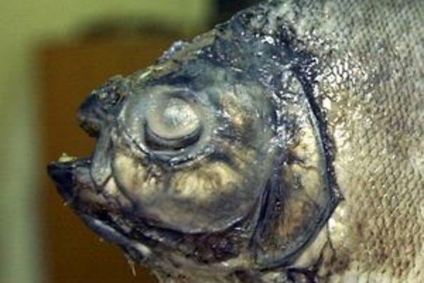 V rieke Váh žijú rôzne druhy rýb. Začínajú sa objavovať aj amazonské. Piraňu z nej vylovil 17-ročný rybár.