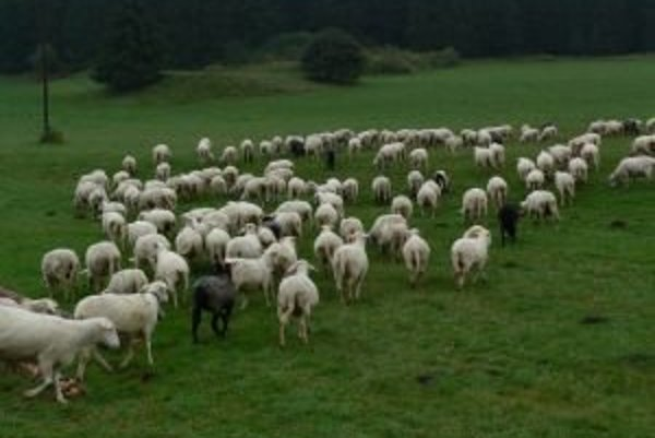 Ovce najlepšie rekultivujú pasienky.