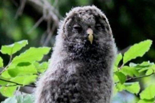 Hniezdenie sovy dlhochvostej alebo uralky je v lipovskej časti Západných Tatier ojedinelé.