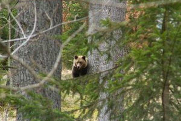 Fotografia medveďa, ktorý sa prechádzaj po Jánskej doline bola urobený zo vzdialenosti asi päťdesiat metrov.