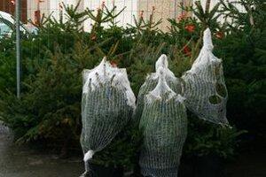 O živé vianočné stromčeky je stále väčší záujem.
