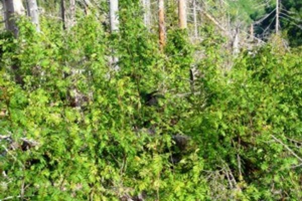 Príroda má neuveriteľnú regeneračnú silu, v Tichej a Kôprovej doline to dokazuje v týchto dňoch naplno.