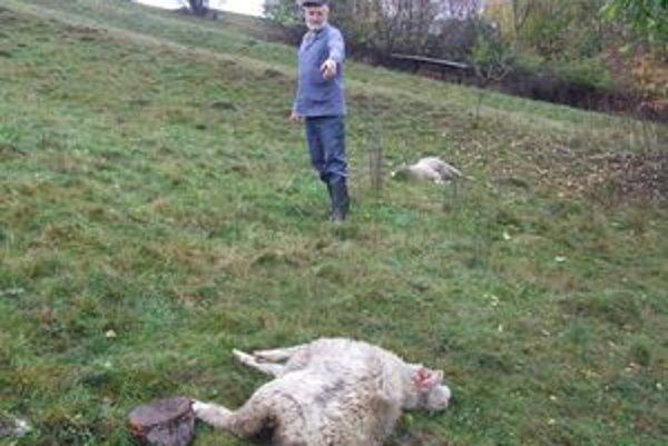 Chovateľ Dušan Niňaj nad mŕtvymi ovcami, ktoré roztrhali vlky.