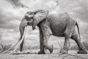 Keď slonica kráčala, jej kly siahali až po zem.