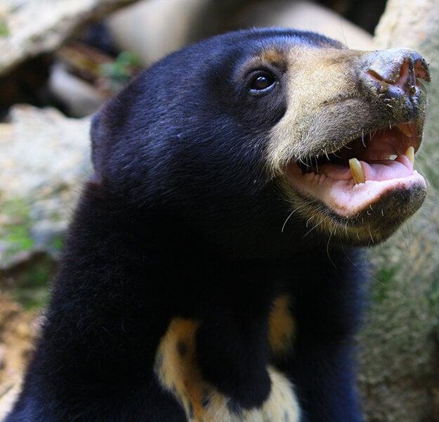 Dospelá samica medveďa malajského.