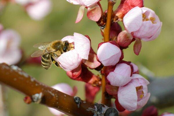 Včela na kvitnúciom strome v obci Podhorany.