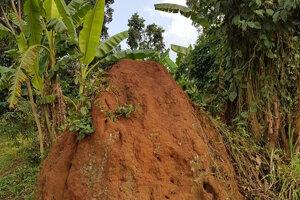 Mraveniská v Ugande sú vysoké aj tri metre.