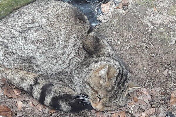 Mačku divú našli ochranári v zlom zdravotnom stave na dne betónovej žumpy.