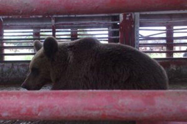 Medveď, ktorého minulý týždeň odchytili v Lučenci a následne vypustili na severnej časti Poľany, zotrváva vo svojom prirodzenom prostredí.