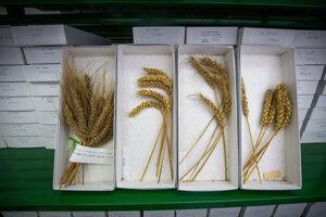 V Génovej banke SR uchovávajú tisíce odrôd pšenice. Každá je uložená v škatuli s pasportom, ktorý obsahuje informácie o nej.