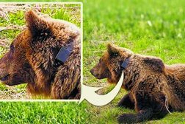 Medvedicu sa stále nepodarilo vystopovať.