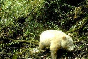 Panda s albinizmom je ešte mláďa. Zrejme nemá viac ako dva roky.