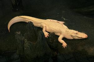 Aligátor albín.