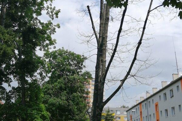 Jeden z napadnutých stromov hubovitým ochorením.