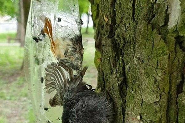 Niekoľko vtákov našlo na páskach svoju smrť.