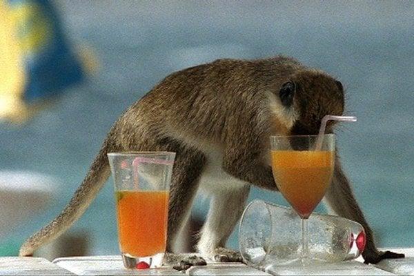 Opice druhu Chlorocebus pygerythrus z karibského ostrova Svätý Krištof kradnú z barov na pláži miešané alkoholické nápoje. Prečo sa dobrovoľne opíjajú a prečo sa ich zvyky ohľadom pitia alkoholu tak podobajú na tie naše ľudské?