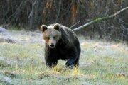 Medveď hnedý na Liptove.