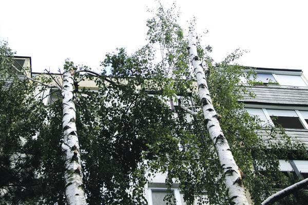 Dvojkmenná breza prišla o konáre aj vrcholky.