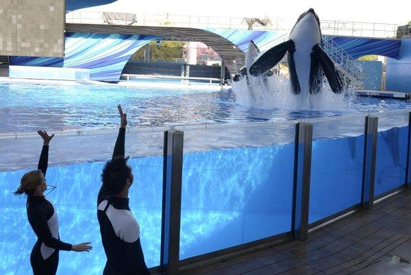 Predstavenia s kosatkami dravými sú hlavnou atrakciou troch zábavných parkov SeaWorld v Kalifornii, Texase a na Floride.