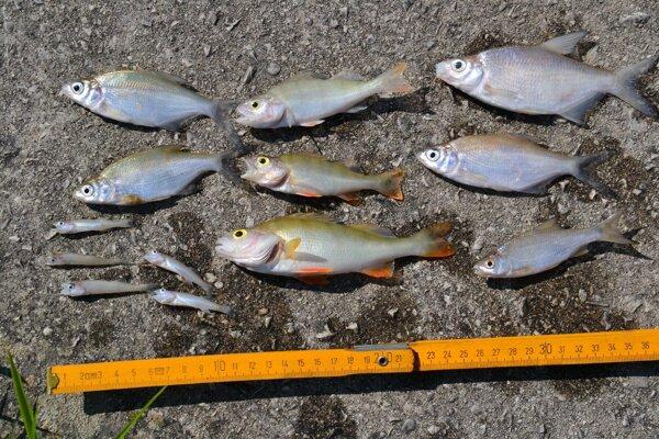 Uhynuté ryby.
