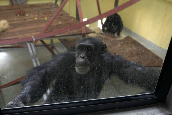 Šimpanz Koko.