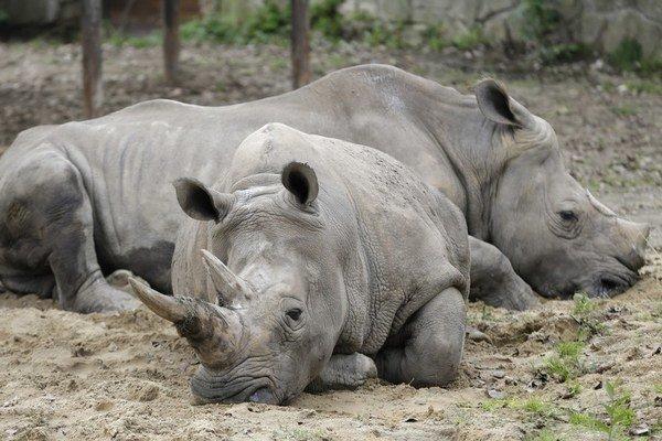 Nosorožcov zabíjajú ľudia pre rohy.
