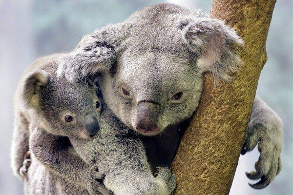 Koaly šetria energiou, väčšinu dňa prespia.