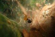 Pavúk druhu anelosimus studiosus, ktorý žije v okolí Mexického zálivu a pri pobreží Atlantiku. Nová štúdia ukazuje, že po silných búrkach prežívajú hlavne agresívnejšie jedince.