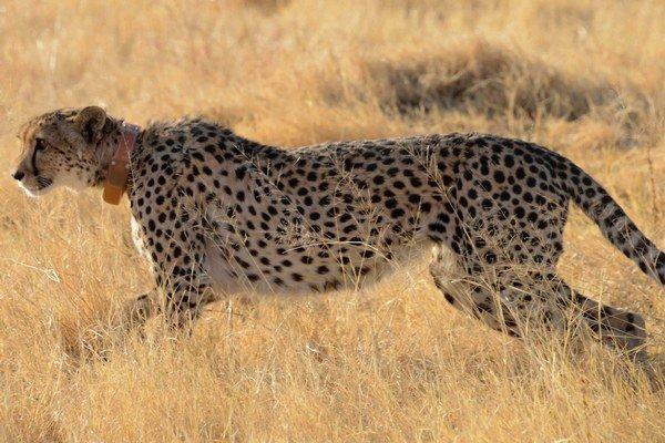 Vedci merali pohyb gepardov pomocou moderných obojkov.
