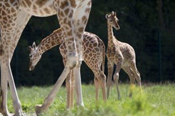 Žirafy možno dokážu smútiť za mŕtvymi.