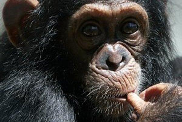 Niektoré šimpanzy môžu byť výnimočné.