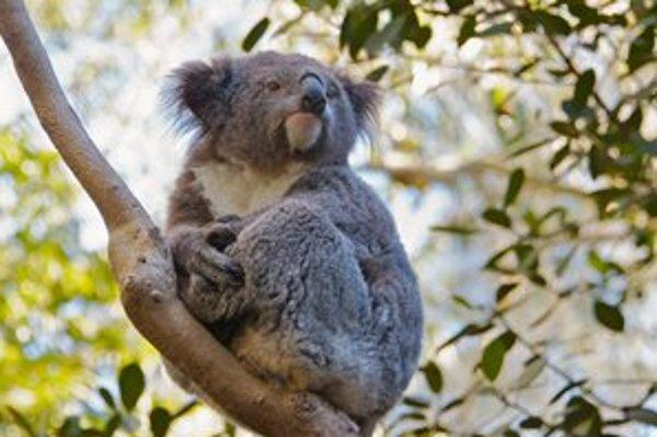 Koaly sú odkázané na listy a kôru eukalyptov. Prespia denne až dvadsať hodín.