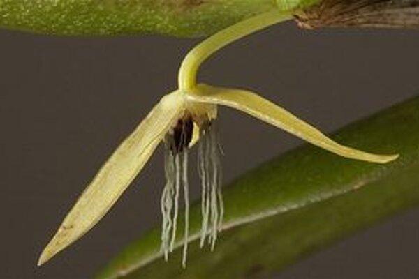 Bulbophyllum nocturnum.