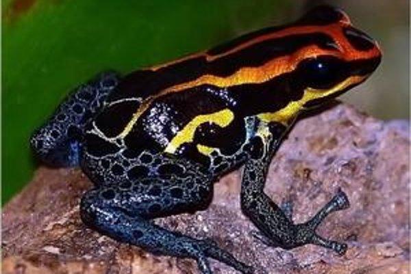 Zvláštne zafarbená žaba, nový druh anakondy aj maličký druh sumca patria medzi novoobjavené živočíchy Amazónie.